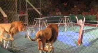Όλα πήγαιναν καλά, μέχρι που το λιοντάρι θόλωσε. Ο κόσμος έτρεχε να σωθεί! (Video)