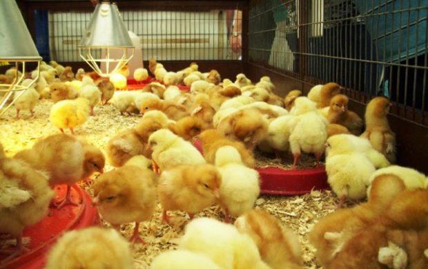 HCD-Chicks-3-Large