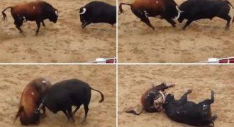 Πολύ σκληρές εικόνες: Ταύροι συγκρούονται κεφάλι με κεφάλι και ξεψυχούν μπροστά στην κάμερα (Video)