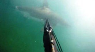 Η δραματική μάχη ενός δύτη με έναν λευκό καρχαρία (Video)