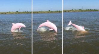 Σπάνιο ροζ δελφίνι εντοπίστηκε στην λίμνη Calcasieu της Λουιζιάνα (Video)