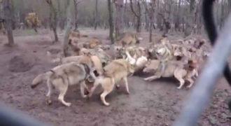 Συγκλονιστικό βίντεο: Μια αγέλη λύκων λιντσάρει έναν λύκο (ΠΡΟΣΟΧΗ, ΣΚΛΗΡΕΣ ΕΙΚΟΝΕΣ)