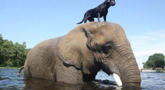 Σπάνια φιλία σκύλου και ελέφαντα (Βίντεο)!