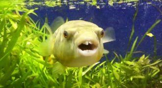 Αυτό το ψάρι μάλλον ενθουσιάζεται πολύ βλέποντας την τροφή του