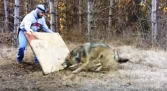 Ήταν στο Δάσος όταν ξαφνικά είδε έναν Λύκο Μπροστά του. Μόλις όμως πήγε πιο Κοντά, συνειδητοποίησε την Σοκαριστική Αλήθεια!