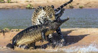 Απίστευτο βίντεο: Τζάγκουαρ επιτίθεται σε κροκόδειλο!!!