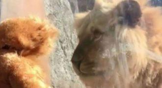 Αξιολάτρευτος πιτσιρικάς ντύθηκε λιοντάρι και τρέλανε τον βασιλιά των ζώων! ( Βίντεο)