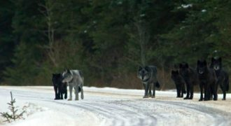 Ελευθέρωσαν 14 Λύκους σε ένα Πάρκο. Κανείς όμως δεν ήταν Προετοιμασμένος για ΑΥΤΟ που θα Ακολουθούσε…