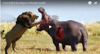 Ιπποπόταμος σκοτώνει λιοντάρι σε μια ανατρεπτική μάχη! (BINTEO)