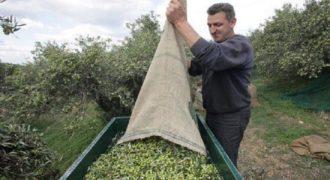 Μοναδική πατέντα με ελληνική υπογραφή! Το απίστευτο κόλπο των Κρητικών για το μάζεμα της ελιάς! (Video)