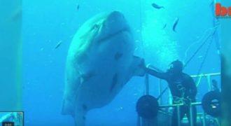 ΣΟΚ και ΔΕΟΣ! «Θρυλικός» Καρχαρίας 7 μέτρων επιτίθεται σε δύτες (video)