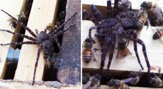 Η Αράχνη εισέβαλε στη Κυψέλη για να Φάει το Μέλι.. Μεγάλο Λάθος! Δείτε ΤΙ της έκαναν οι Μέλισσες!