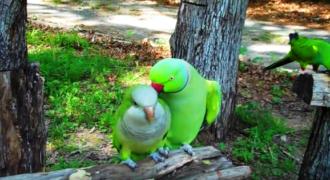Παπαγάλος προσπαθεί να Φλερτάρει μία Θυληκιά. ΑΥΤΟ που της Ψιθύρισε στο Αυτί, θα σας κάνει να Λιώσετε!