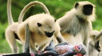 Μαϊμούδες θρηνούν για το χαμό ψεύτικου ρομπότ που νόμιζαν πως ήταν αληθινό