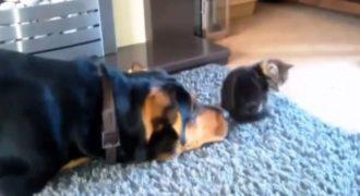 Ο σκύλος πλησιάζει πισώπλατα το γατάκι… Η συνέχεια θα σας κάνει να λιώσετε (Βίντεο)