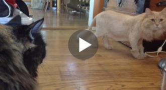 Κούρεψε τον γάτο της για να μην ζεσταίνεται. Η επική αντίδραση της αδερφής του μόλις τον βλέπει, έχει «ρίξει» το διαδίκτυο!