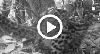Στα δάση της Κίνας κρύβεται μία από τις πιο σπάνιες γάτες στον κόσμο! [Βίντεο]