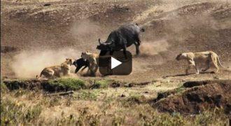 Ηρωικό βουβάλι σώζει από τα άγρια δόντια λιονταριού ένα μικρό μοσχαράκι (Video)