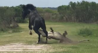 Παρακολουθηστε ένα άλογο να «πλακώνει στο ξύλο» έναν τεράστιο αλιγάτορα