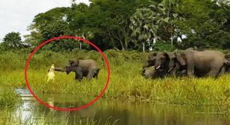 Παρακολουθήστε έναν κροκόδειλο να αρπάζει έναν ελέφαντα από την προβοσκίδα