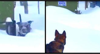 Σκύλος είχε κολλήσει στο χιόνι μέχρι που τον είδε αυτός ο Γερμανικός Ποιμενικός και τον έσωσε