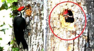 Πως ένας τρυποκάρυδος φτιάχνει το σπίτι του (Timelapse Βίντεο)