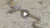 Το φίδι επιτέθηκε στον ανυπεράσπιστο σκίουρο για να τον φάει. Προσέξτε όμως την αντίδραση του σκίουρου και θα τα χάσετε!