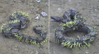 Ένα Φίδι Προσπάθησε να Φάει ένα Σκαντζόχοιρο… Δείτε το ΣΟΚΑΡΙΣΤΙΚΟ Αποτέλεσμα στο Βίντεο που Κόβει την Ανάσα!