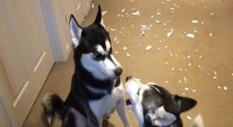 Ρώτησε τα Σκυλιά της ΠΟΙΟ δημιούργησε αυτήν την Ακαταστασία, αλλά το ένα Κατηγορούσε το άλλο. Δείτε τον Καυγά τους που έγινε Viral!
