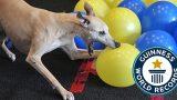 Σκύλος σκάει 100 μπαλόνια σε λίγα δευτερόλεπτα και γίνεται ο νέος κάτοχος Ρεκόρ Γκίνες