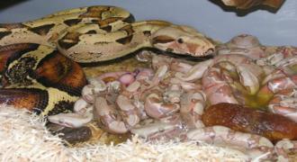 Φίδι γεννάει τα μικρά του : Ένα θέαμα που θα σας ανατριχιάσει! (video)