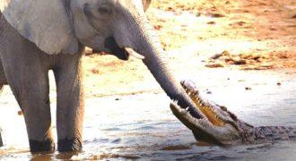 Κροκόδειλος έβαλε στόχο την προβοσκίδα του ελέφαντα για γεύμα του.