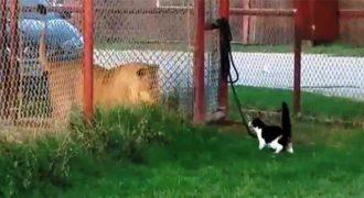 Παρακολουθήστε μια θαρραλέα γάτα να προκαλεί σε μονομαχία ένα λιοντάρι