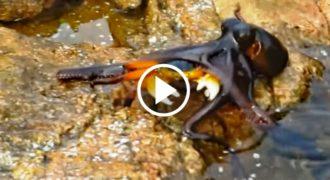 Η συγκλονιστική στιγμή που χταπόδι βγαίνει από το νερό για να αρπάξει ένα καβούρι. Δείτε το σπάνιο βίντεο!