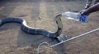 Κόμπρα αναγκάζεται να πιει φιλικά νερό από το χέρι ενός χωρικού λόγω ξηρασίας