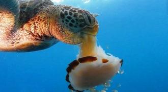 Δείτε πως μια Θαλάσσια Χελώνα καταβροχθίζει μία Μέδουσα σαν να τρώει μακαρόνια! (Βίντεο)