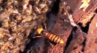 Γιγαντιαία Σφήκα «ψήνεται» ζωντανή από μέλισσες (Βίντεο)