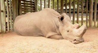 Αυτός είναι ο τελευταίος λευκός ρινόκερος πάνω στη γη